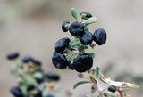 黑枸杞种苗